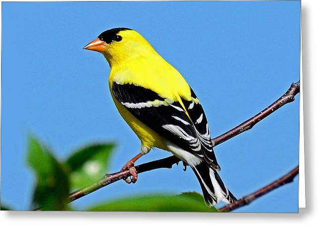 American Goldfinch Greeting Card by Rodney Campbell