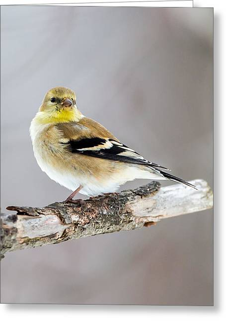 American Goldfinch Winter Plumage Greeting Card by Bill Wakeley