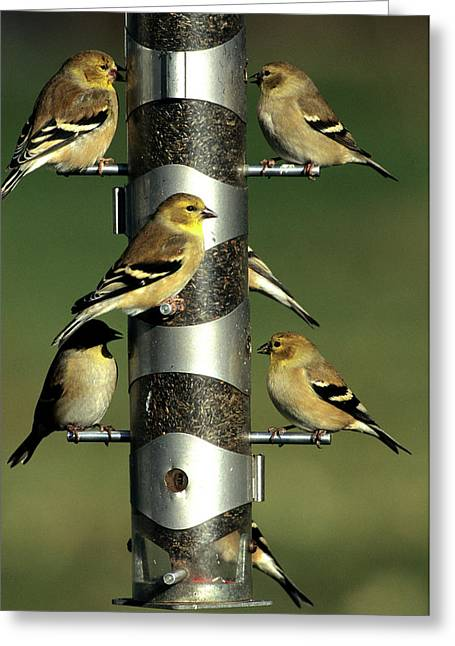 American Goldfinches (cardeulis Tristis Greeting Card