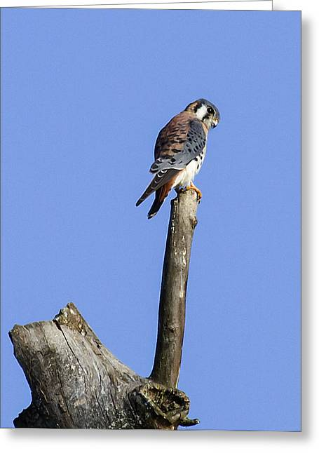 American Kestrel Greeting Card by David Lester