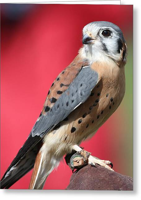 Greeting Card featuring the photograph American Kestrel by Nathan Rupert
