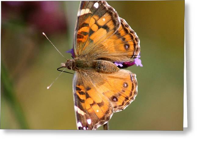 American Lady Butterfly Greeting Card by Karen Adams