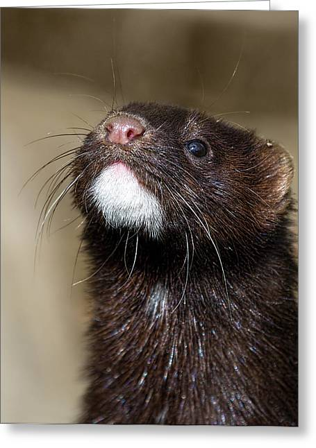 American Mink In The Uk Greeting Card