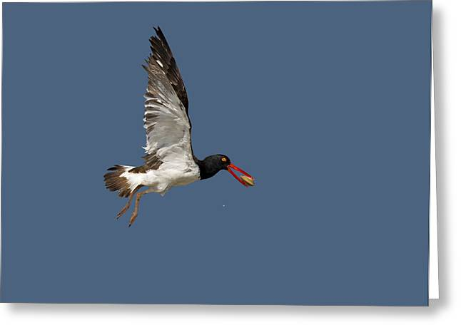 American Oystercatcher In Flight Greeting Card by Susan Candelario