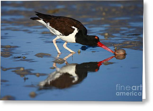 Greeting Card featuring the photograph American Oystercatcher Mirror by John F Tsumas