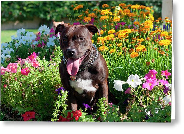 American Pit Bull In Flowers (mr Greeting Card
