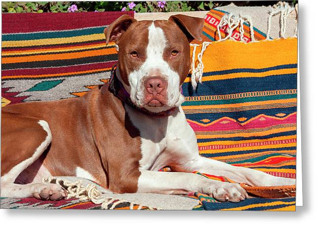 American Pit Bull Lying On Blankets (mr Greeting Card