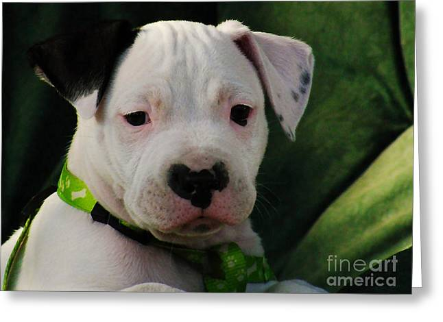 American Pitbull  Greeting Card by Marvin Blaine