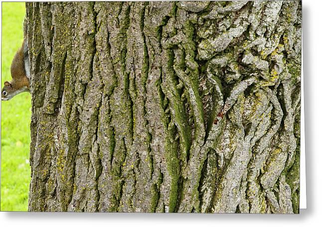 American Red Squirrel, Tamiasciurus Greeting Card