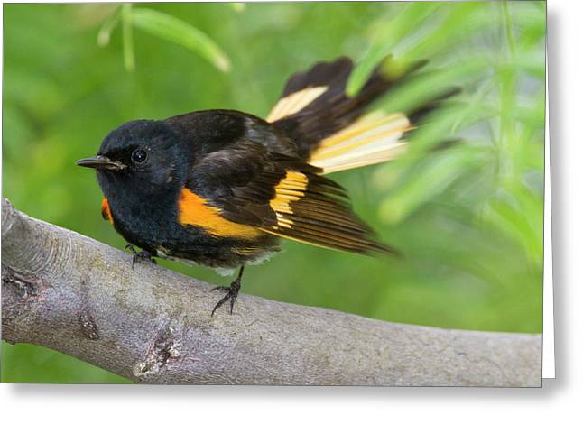 American Redstart (setophaga Ruticilla Greeting Card