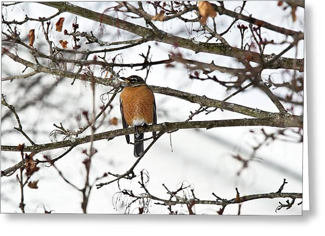 American Robin In A Tree Greeting Card