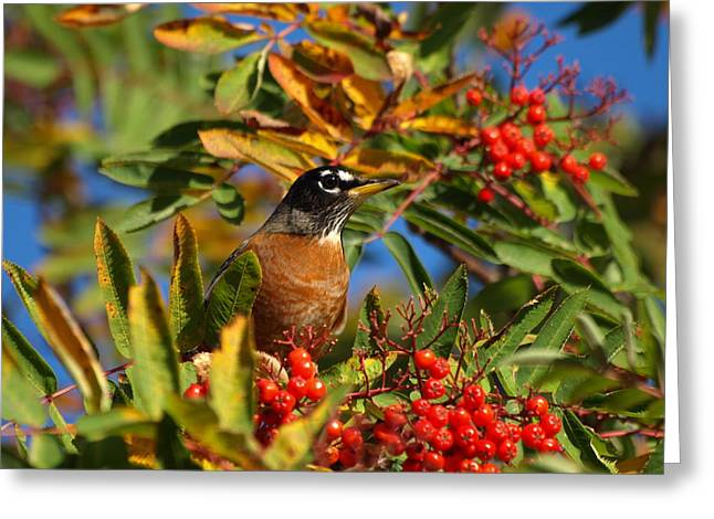 Peterson Greeting Cards - American Robin Greeting Card by James Peterson