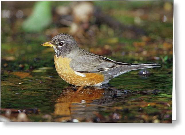 American Robin (turdis Migratorius Greeting Card by Richard and Susan Day