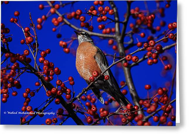 American Robin Greeting Card by Wahed Mohammed