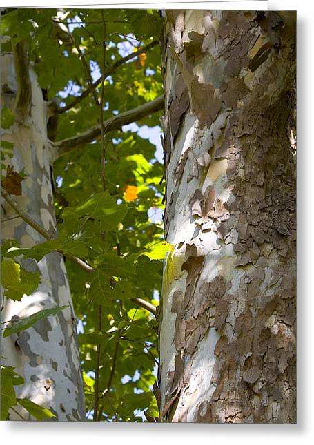 American Sycamore Greeting Card by Denise Beverly