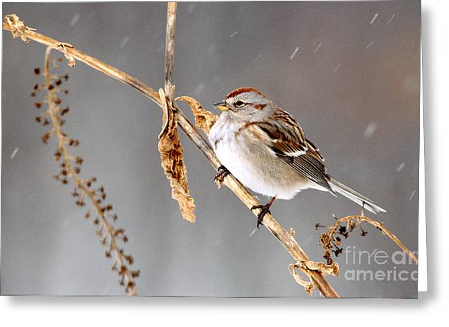 American Tree Sparrow Greeting Card