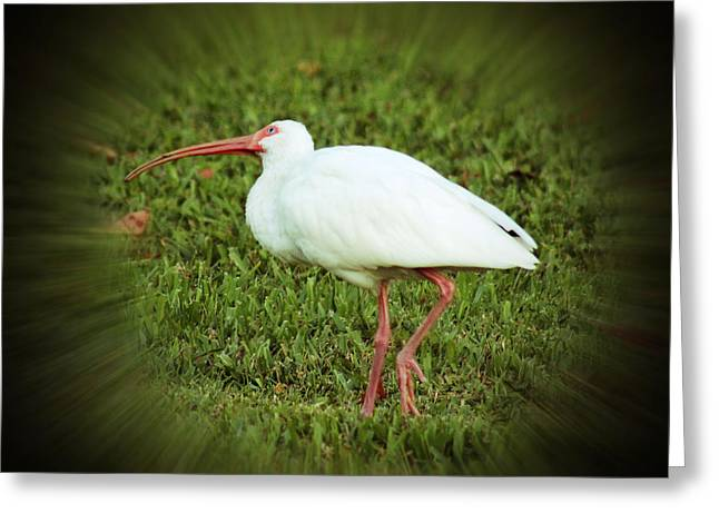 American White Ibis Greeting Card