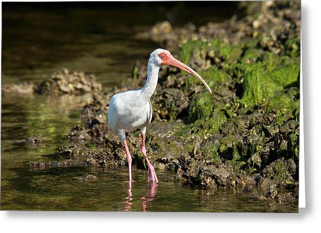 American White Ibis Feeding In A Lagoon Greeting Card by Bob Gibbons