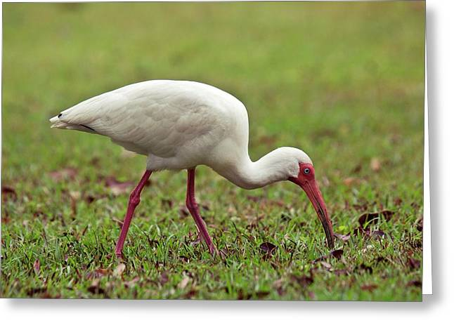 American White Ibis Feeding On Grass Greeting Card by Bob Gibbons