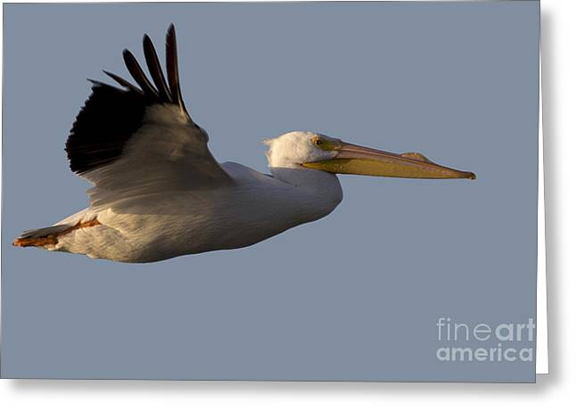 American White Pelican In Flight Greeting Card