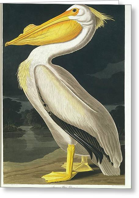 American White Pelican Greeting Card by Natural History Museum, London/science Photo Library