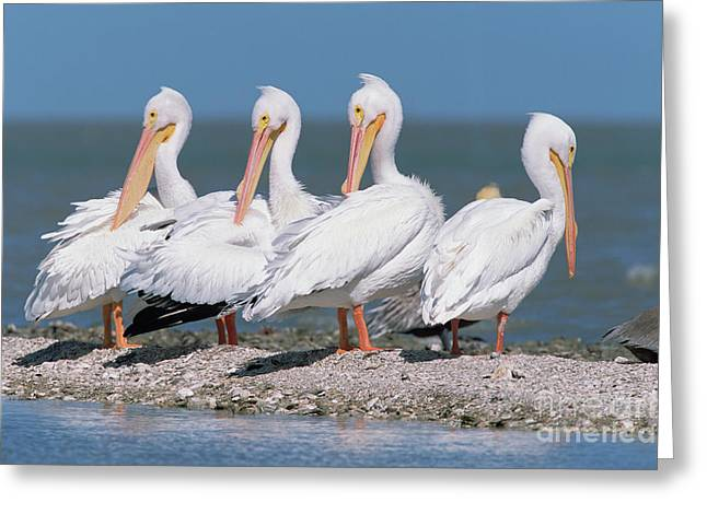 Four American White Pelicans  Greeting Card by Yva Momatiuk and John Eastcott