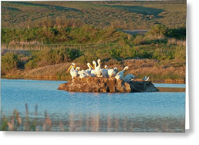 American White Pelicans On Small Island Greeting Card by Howie Garber