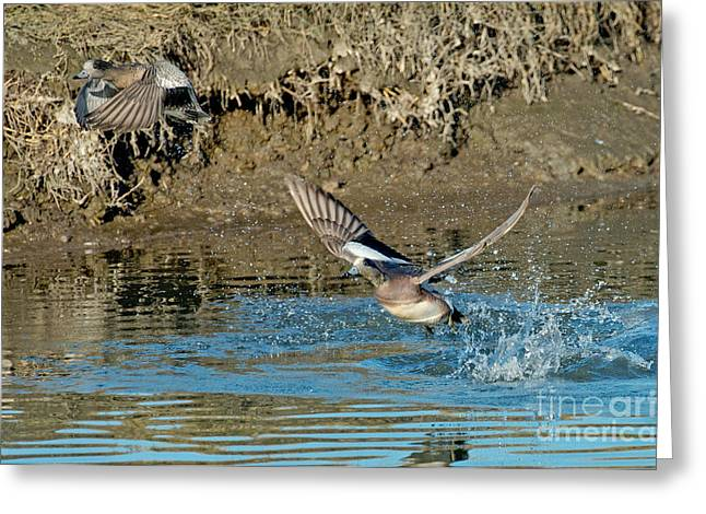 American Wigeon Pair Taking Greeting Card by Anthony Mercieca