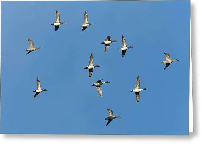 American Wigeons And Northern Pintails Greeting Card by Maresa Pryor