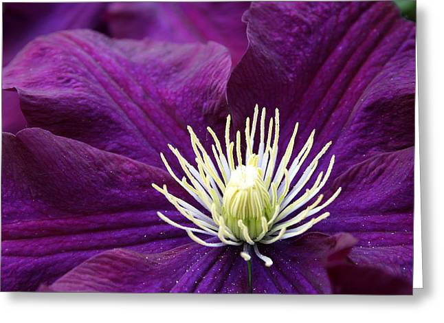 Amethyst Colored Clematis Greeting Card by Kay Novy