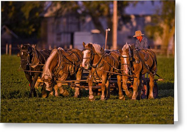 Amish Work Horses In The Golden Hour Greeting Card by Donna Caplinger