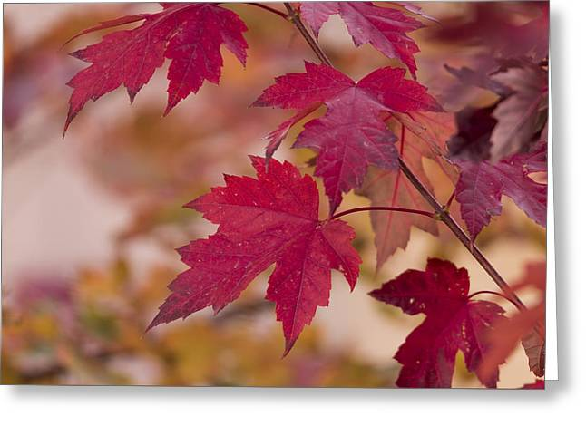 Among Maples Greeting Card by Chad Dutson