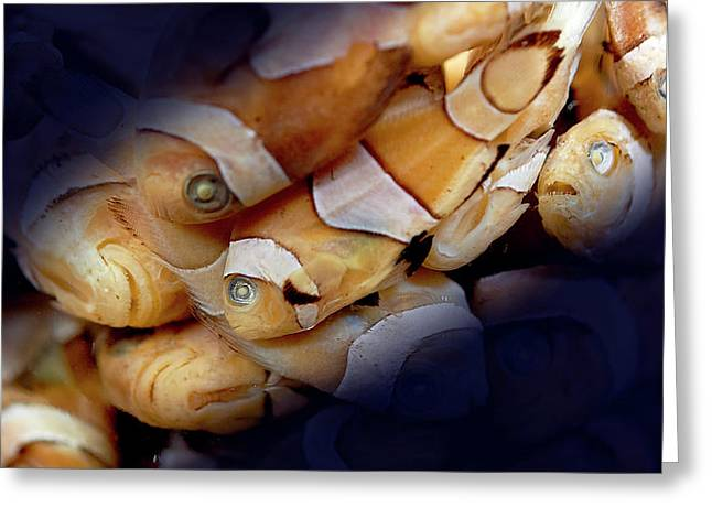 Amphiprion Sp. Greeting Card
