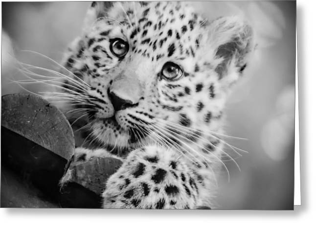 Amur Leopard Cub Portrait Greeting Card by Chris Boulton