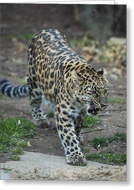 Amur Leopard Greeting Card by Phil Abrams