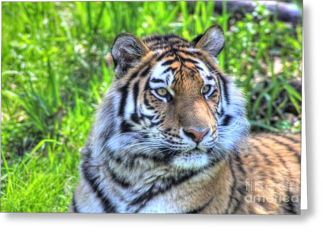 Amur Tiger 6 Greeting Card