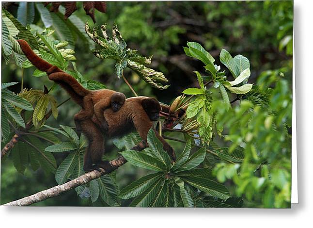 An Adult Woolly Monkey With Young Greeting Card