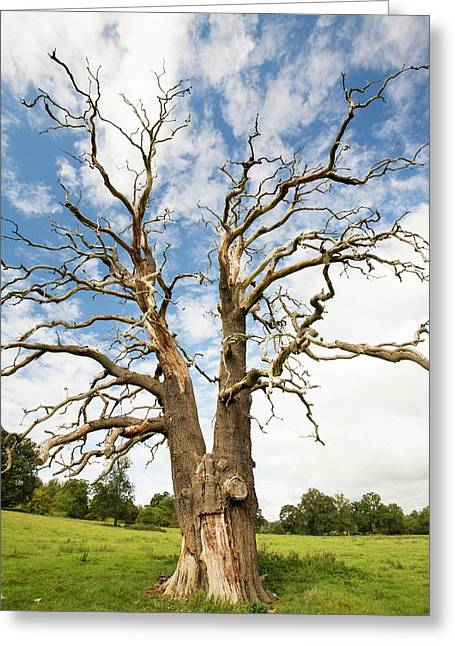 An Ancient Dead Tree Greeting Card by Ashley Cooper