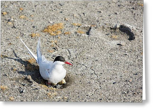 An Arctic Tern (sterna Paradisaea) Greeting Card by Ashley Cooper