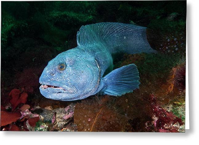 An Atlantic Wolffish Searches Greeting Card