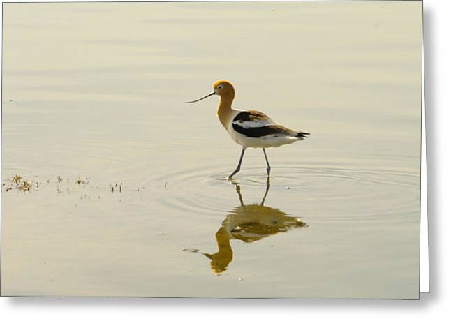 An Avocet Walking The Shore Greeting Card by Jeff Swan