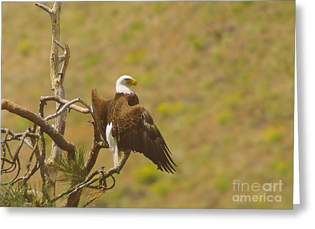 An Eagle Stretching Its Wings Greeting Card by Jeff Swan
