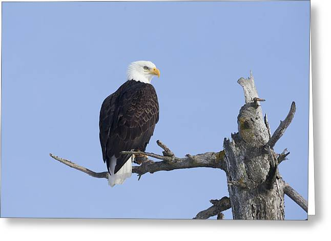 An Eagle Up On The Top Of A Dead Tree Greeting Card by Doug Lindstrand