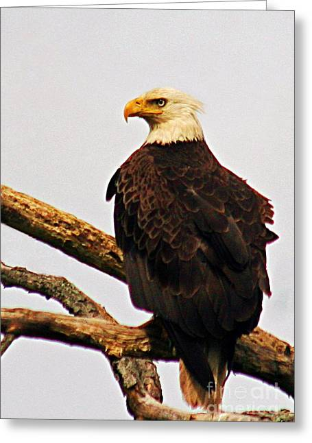 Greeting Card featuring the photograph An Eagle's Perch by Polly Peacock