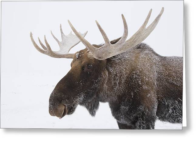 An Elk Cervus Canadensis With Snow Greeting Card by Doug Lindstrand
