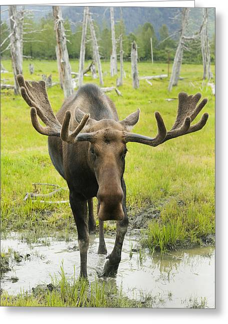An Elk Standing In A Puddle Of Water Greeting Card