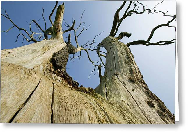 An Elm Tree Killed By Dutch Elm Disease Greeting Card by Ashley Cooper