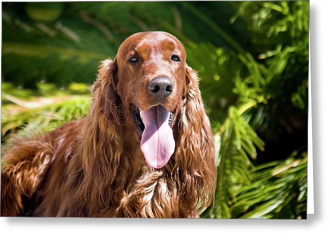 An Irish Setter Lying Surrounded Greeting Card