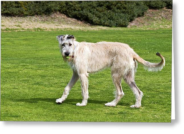 An Irish Wolfhound Puppy Playing Greeting Card by Zandria Muench Beraldo