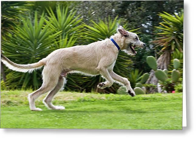 An Irish Wolfhound Puppy Running Greeting Card